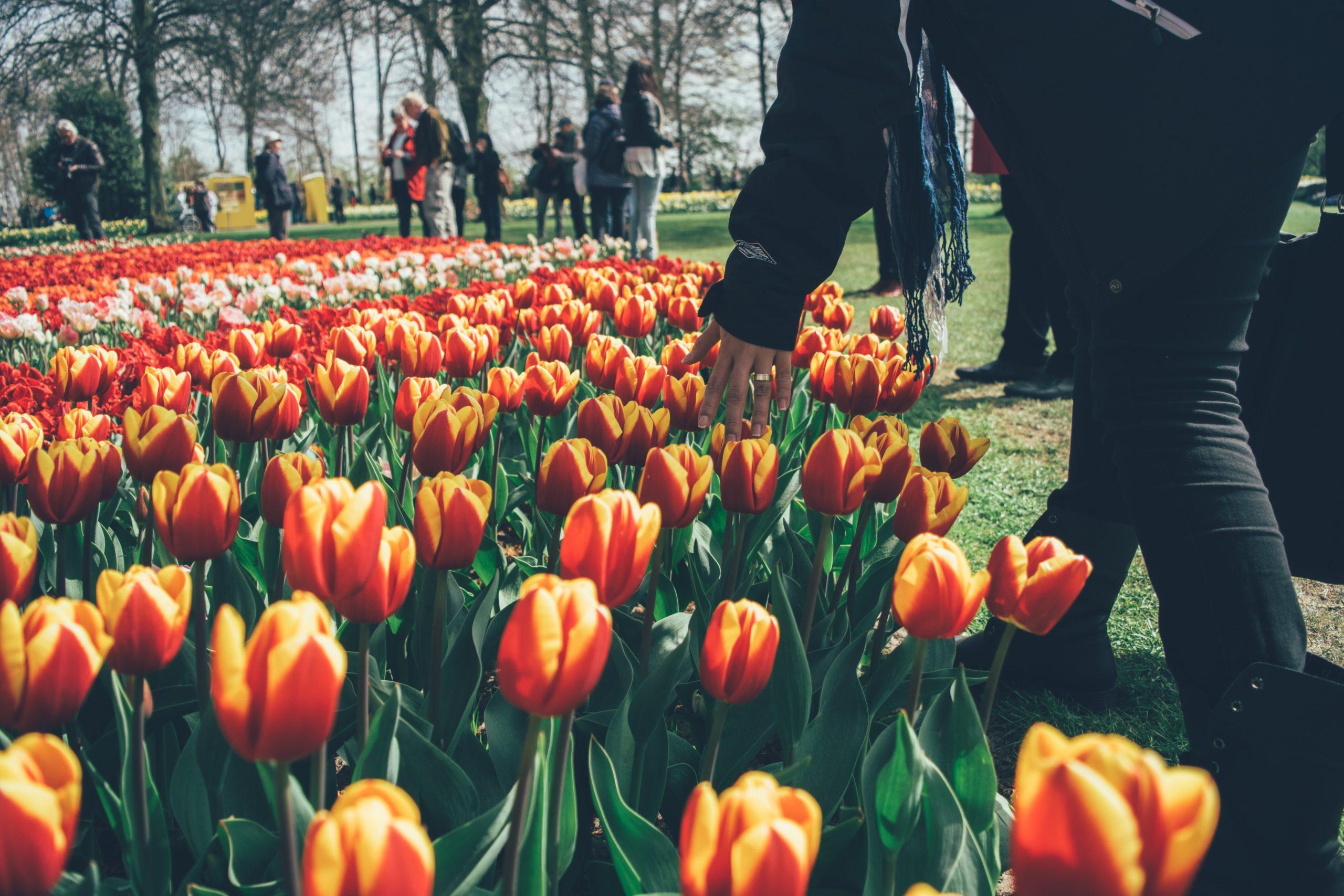 tulips in Keukenhof Garden in the netherlands