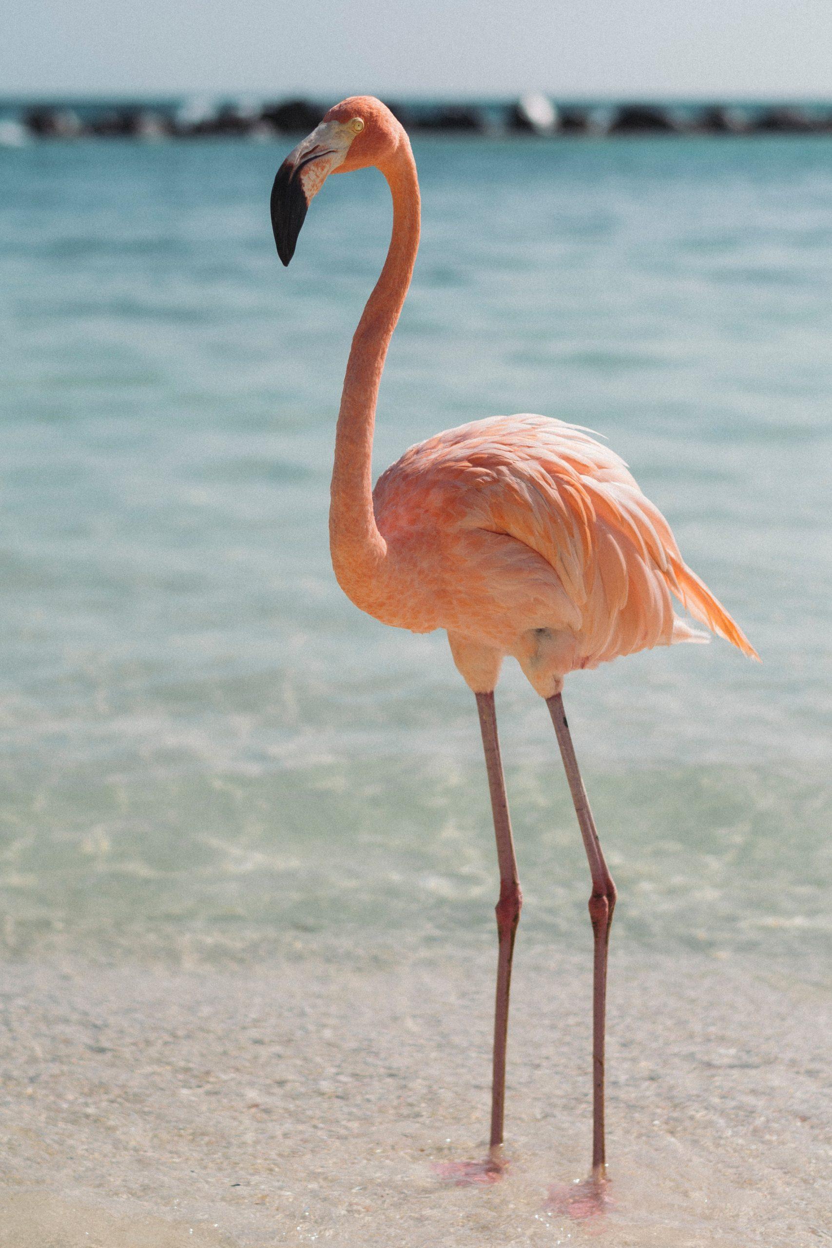 flamingo on a beach in a safe caribbean island in Aruba